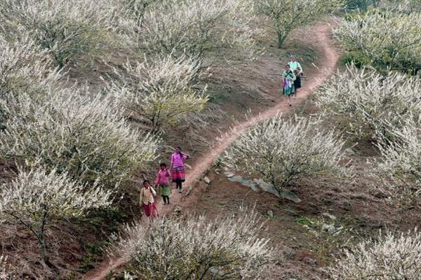 Lên cao nguyên xem hoa mận nở trắng rừng biên giới