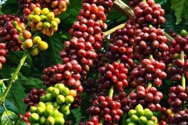 Cà phê và cacao giảm trong khi đường, cao su tăng giá trong phiên đầu năm