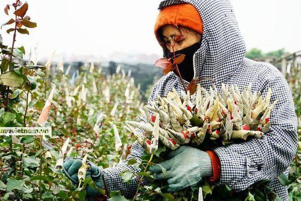 Làng hoa lâu đời ở Hà Nội 'hối hả' vào vụ Tết