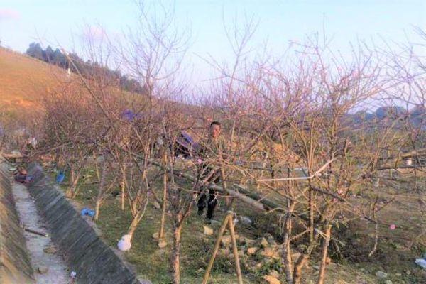 Đề xuất dán tem đào vườn do dân trồng để phân biệt đào rừng