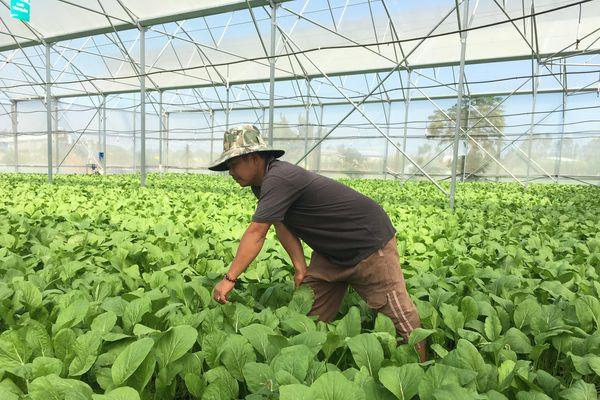 XÃ CHÂU PHA, TX. PHÚ MỸ: Nông dân khấm khá nhờ liên kết trồng rau