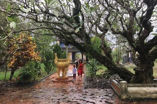 Về chùa Giác Lương ngắm cây sứ hơn 200 tuổi