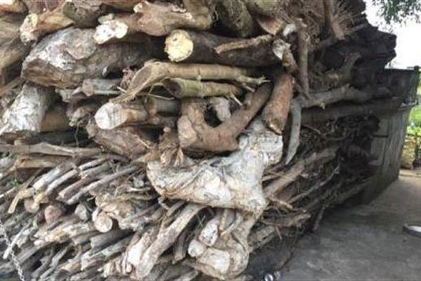 Trái đắng từ những cây sanh tiền tỷ: Hệ quả lòng tham