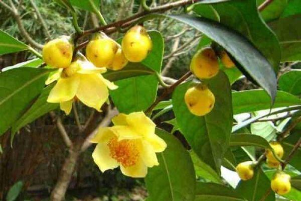 Chè hoa vàng – ' Thần dược' dân gian