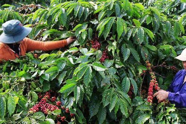 Cà phê Việt Nam đặt mục tiêu xuất khẩu đạt 6 tỷ USD