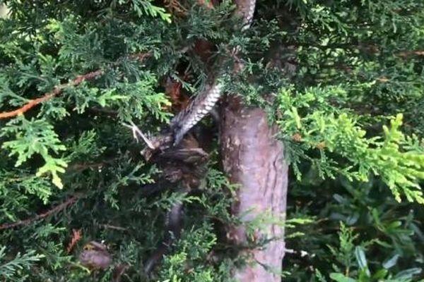 Rắn hổ đu mình vắt vẻo trên cây bắt chim trong vườn khiến gia chủ kinh ngạc