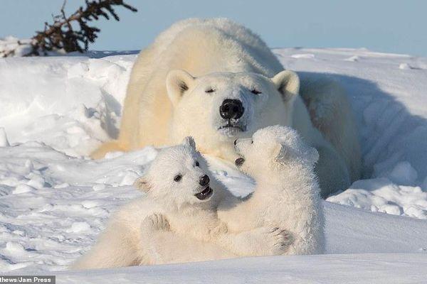 Kiên trì 12 tiếng mỗi ngày dưới cái lạnh -65 độ, nhiếp ảnh gia lưu lại những khoảnh khắc tuyệt đẹp của gia đình gấu Bắc Cực sau kỳ ngủ đông