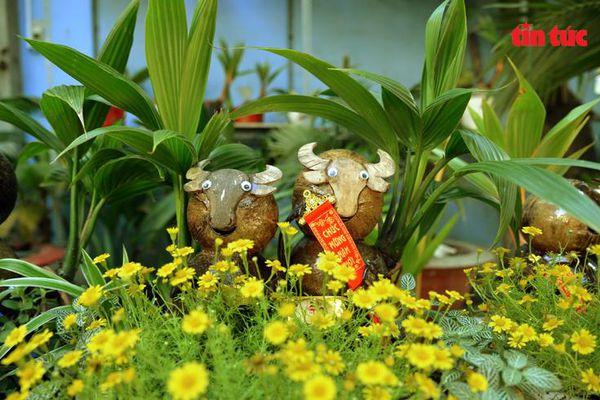 Độc đáo dừa bonsai hình trâu trưng Tết
