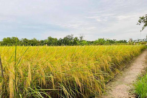 Giá lúa gạo hôm nay ngày 17/1: Giá lúa gạo đi ngang