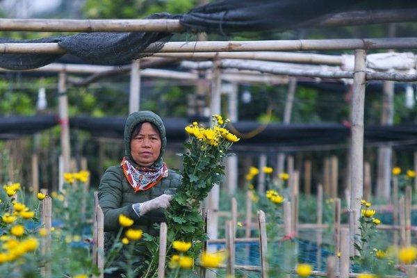 Làng hoa lớn nhất Hà Nội những ngày cận Tết thế nào?