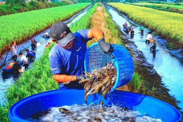 Tôm càng xanh ở đồng lúa sinh thái Cà Mau
