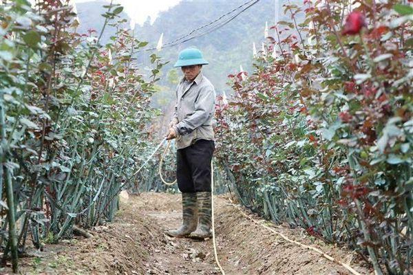 Vùng trồng hoa hồng chuẩn bị phục vụ Tết