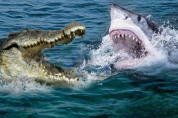 Cá sấu khổng lồ đối đầu cá mập và cái kết