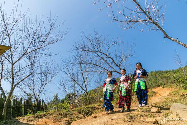 Vựa đào đá lớn nhất biên giới Nghệ An sẵn sàng vào Tết