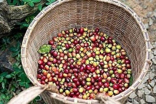 Giá cà phê hôm nay 22/1: Cà phê Arabica tăng nóng