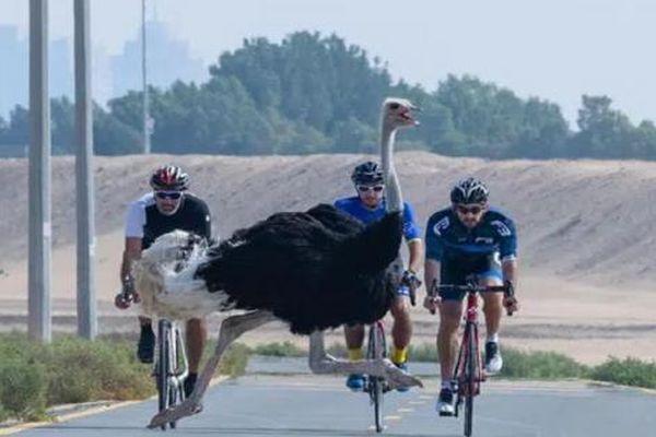 Thái tử Dubai đạp xe đua tốc độ với đà điểu