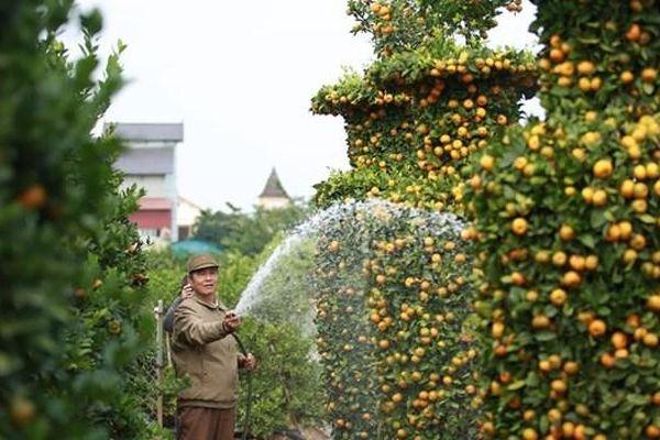 Hưng Yên: Chiêm ngưỡng vườn quýt lục bình 'tiền tỷ'