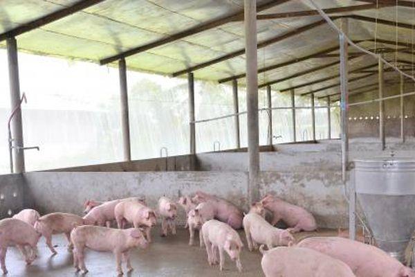 Vĩnh Long: Tài đàn lợn gặp nhiều khó khăn