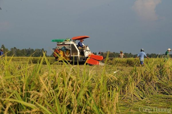 Giá lúa gạo hôm nay ngày 24/1: Cuối tuần giá lúa đi ngang