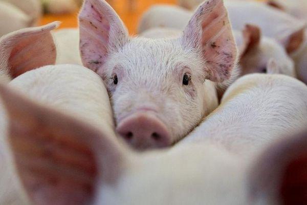 Công ty thịt lợn lãi kỷ lục 1.400 tỷ đồng