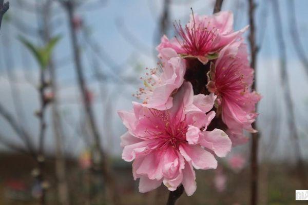 Đào phai hoa 'kép' xứ Thanh 'hút' khách chơi Tết có gì khác biệt?