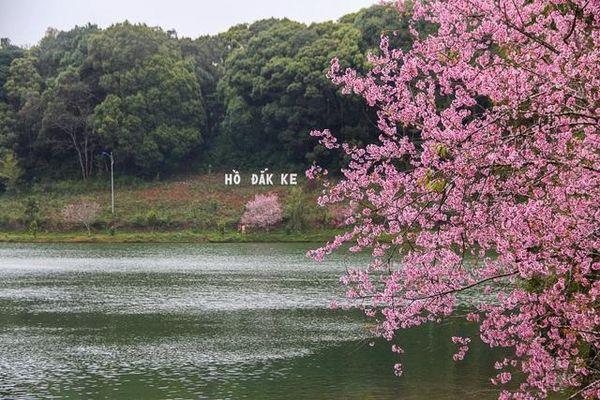 Du khách ùn ùn về 'xứ Đà Lạt 2' để ngắm hoa mai anh đào
