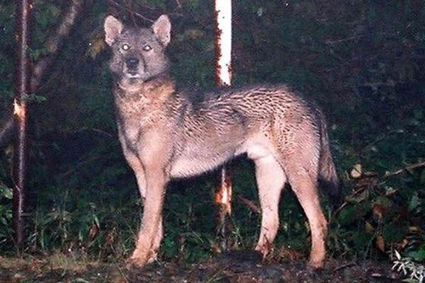 Dân số nhiều nơi teo tóp nhưng sói và gấu nâu sinh sôi