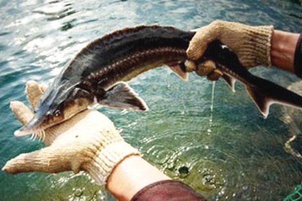 Bộ Nông nghiệp đề nghị kiểm soát chặt cá tầm nhập khẩu làm thương phẩm