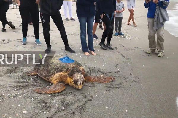 Cảnh tượng thả rùa biển quý hiếm về tự nhiên ở Florida