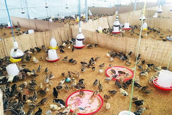 Tri Tôn: Triển vọng từ mô hình nuôi gà an toàn trên đệm lót sinh học