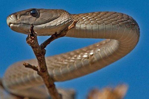 Top 10 loài rắn cực độc, nguy hiểm nhất hành tinh