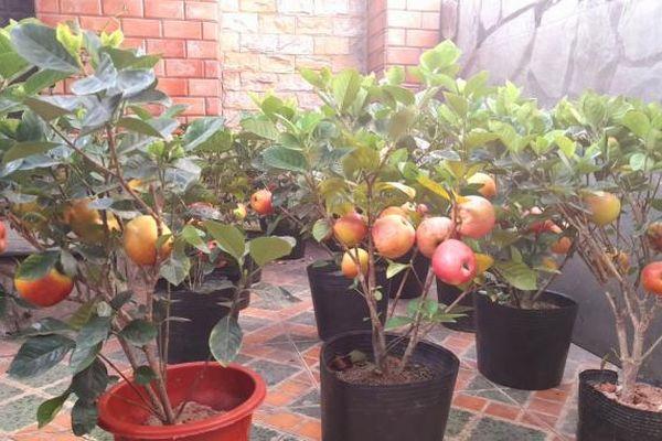 Lật tẩy chiêu trò lừa bán cây táo đỏ chưng Tết