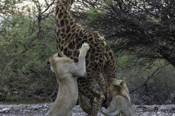 Dù chạy trốn suốt đêm, hươu cao cổ vẫn bị hai con sư tử con hạ gục
