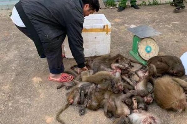 Đắk Lắk: Người đàn ông chở 16 cá thể khỉ đã chết đi tiêu thụ