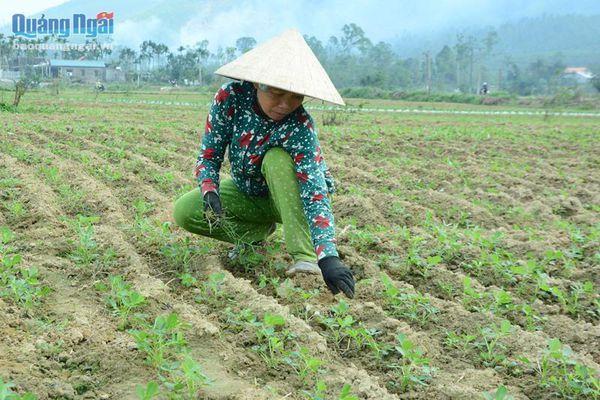 Chuyển đổi cây trồng trên đất mì bị khảm lá
