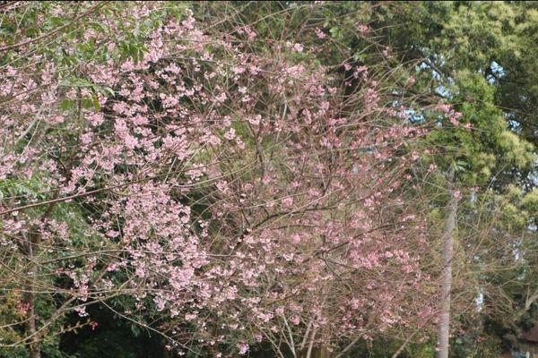 Hoa đào khoe sắc giữa núi rừng Vĩnh Sơn
