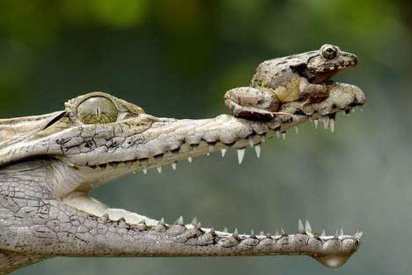 Ảnh đẹp: Ếch ngồi nghịch trên mũi cá sấu