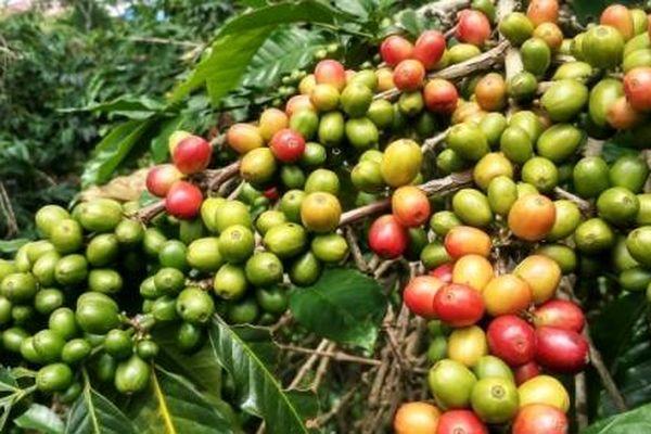 Giá cà phê hôm nay 21/2: Vì sao giá cà phê Robusta giảm?