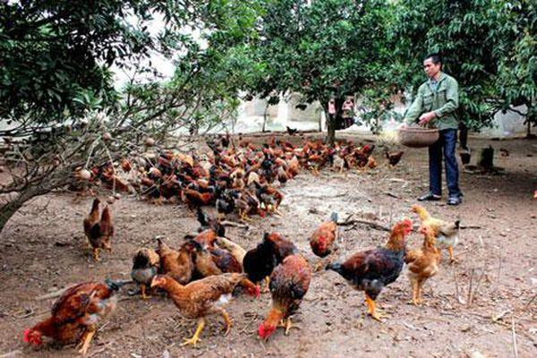 Hà Nội sẽ hỗ trợ tiêu thụ hơn 1.600 tấn gà đồi Chí Linh