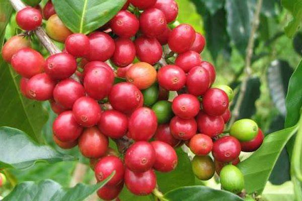 Giá cà phê hôm nay 23/2: Giá cà phê tăng sốc, Robusta vượt mốc 1.400 USD/tấn