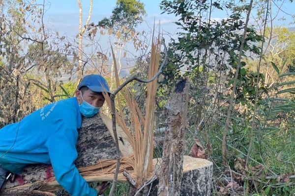 Lợi dụng Tết Nguyên đán, lâm tặc lại 'xẻ thịt' rừng tự nhiên ở Đắk Lắk