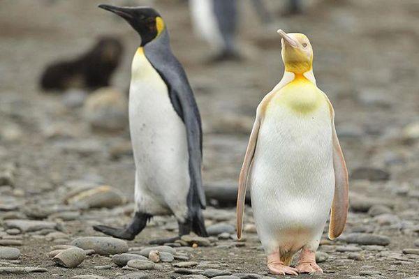 Chim cánh cụt siêu hiếm mới được công bố sau 1 năm bị phát hiện