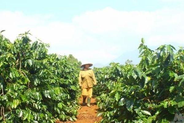 Đề án tái canh cà phê ở Quảng Trị không đạt mục tiêu