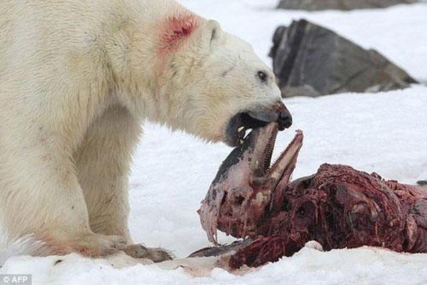 Gấu Bắc Cực ăn thịt cá heo – Hậu quả của biến đổi khí hậu