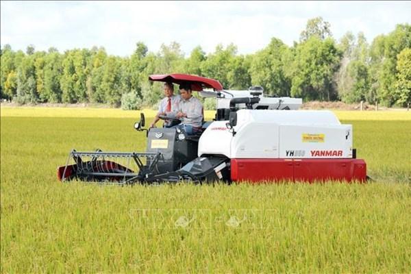 Cà Mau giá lúa Đông Xuân tăng cao nhất trong nhiều năm qua
