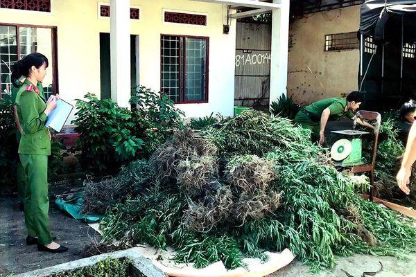 Bị bắt vì trồng hàng ngàn cây cần sa trong rừng tại Gia Lai