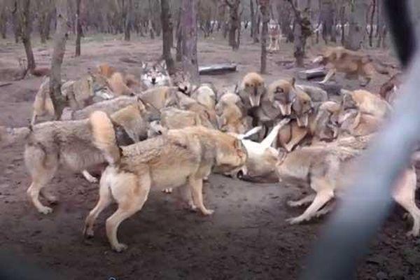 Clip: Cả đàn sói bỗng nhiên tấn công thành viên trong đàn như kẻ thù, tại sao vậy?