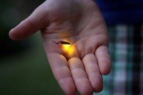 Đom đóm phát sáng như thế nào?