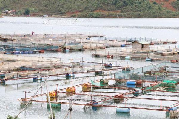 Nuôi cá lồng vùng lòng hồ thủy điện: Lời giải bài toán thiếu đất sản xuất