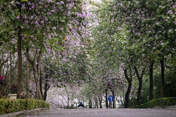 Ciputra Hanoi: Hoa ban nở rộ, khoe sắc mê đắm lòng người